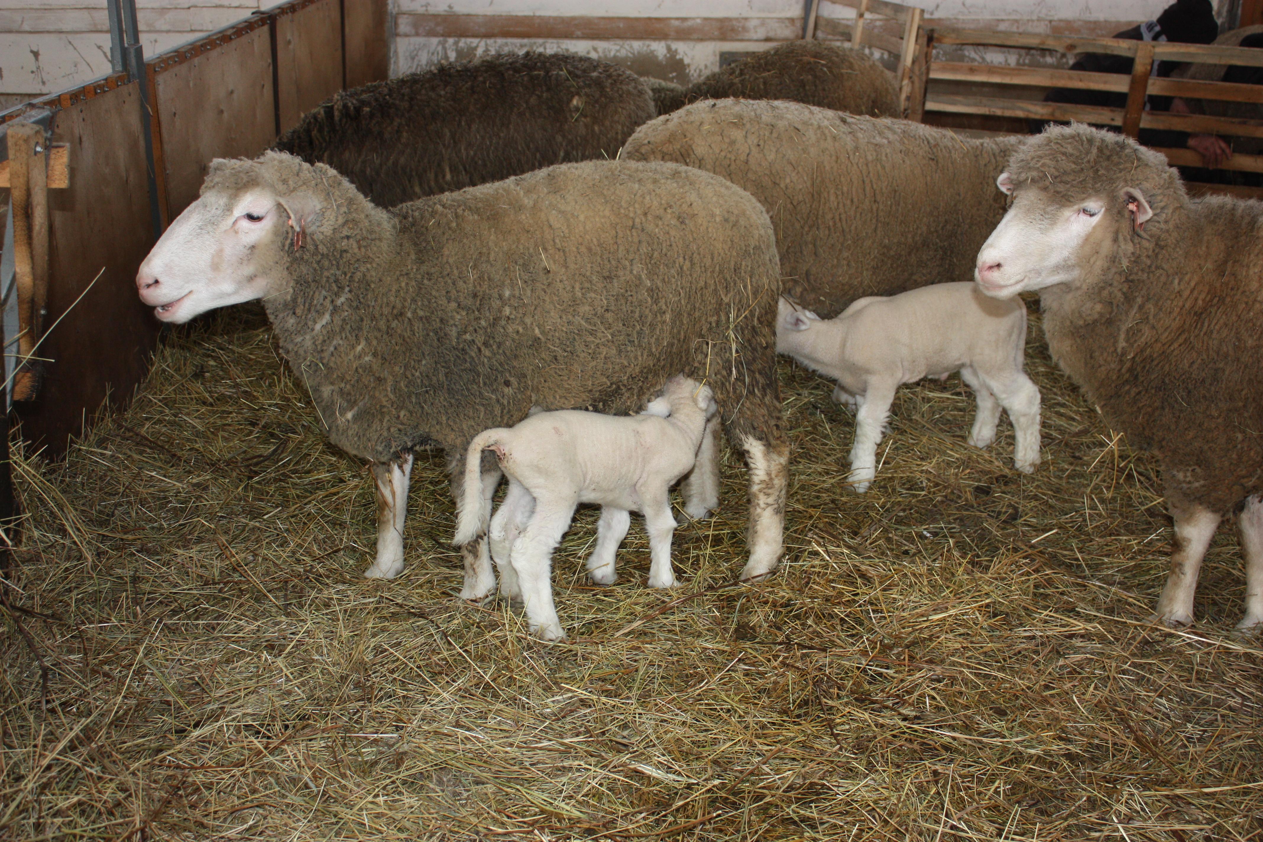 Разведение овец в домашних 48